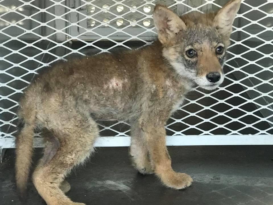 coyote pup 2_1525895942319.jpg.jpg