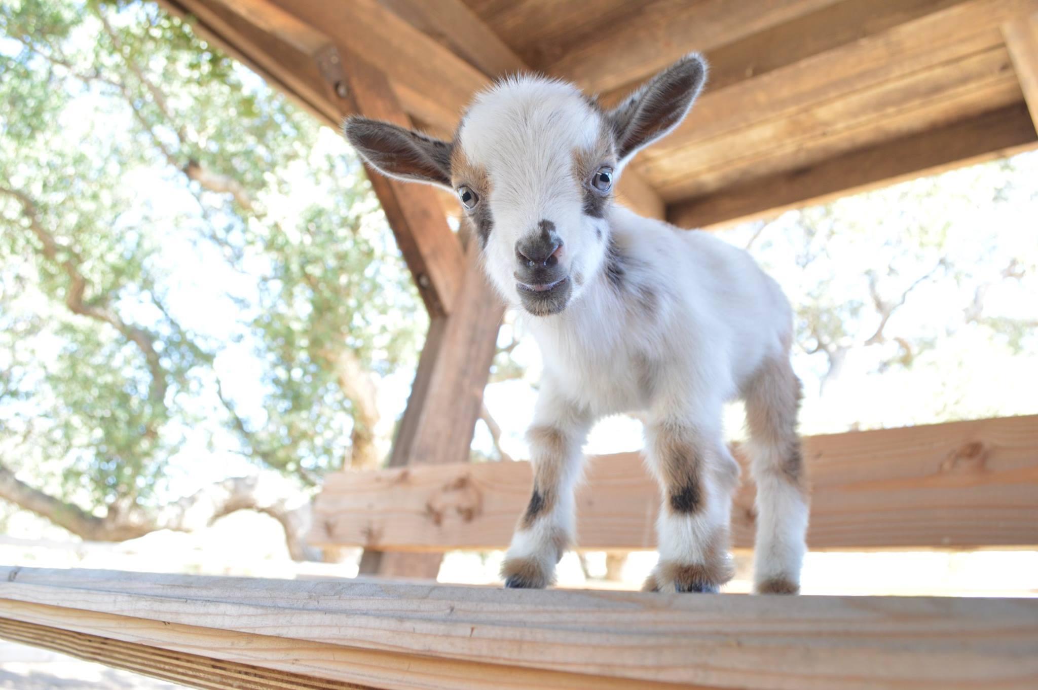 goat valentine 2_1547148792558.jpg.jpg